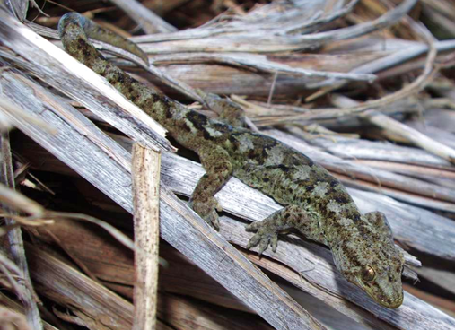 File:Common gecko.png