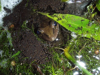 Female with hatchlings.JPG