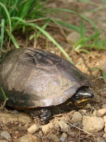 Sternotherus odoratus Photo by E. K. Timpe
