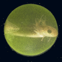 File:Ambystomalgae.jpg