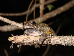 Hyla versicolor Photo by E. K. Timpe