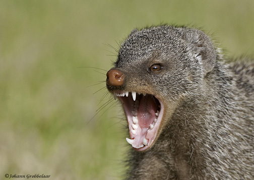 Banded mongoose.jpg