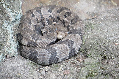 Crotalus horridus Photo by Sara Horwitz