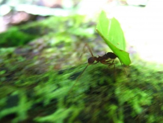 Leafcutter ant.jpg
