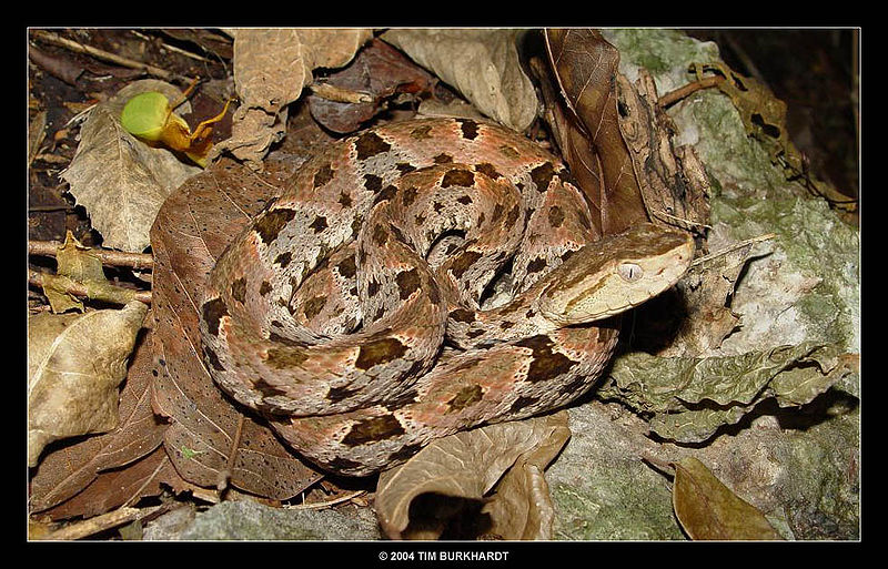 File:Bothrops-asper.jpg