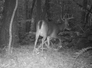 3254 CamTrapStag.13.jpg