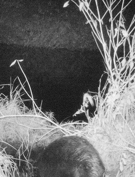 File:3254 CamTrapBeaverNight13.JPG