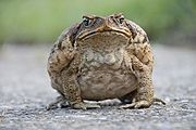 CaneToad8.jpg