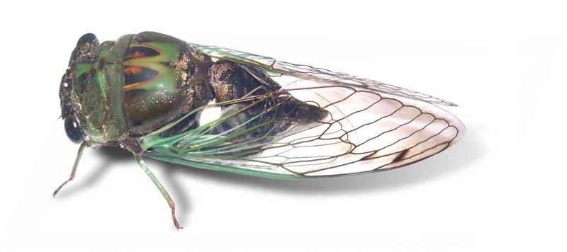 Auchenorrhyncha